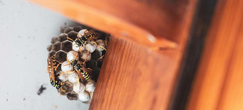 wat moet je doen met een wespennest in afwachten van een wespenverdelging